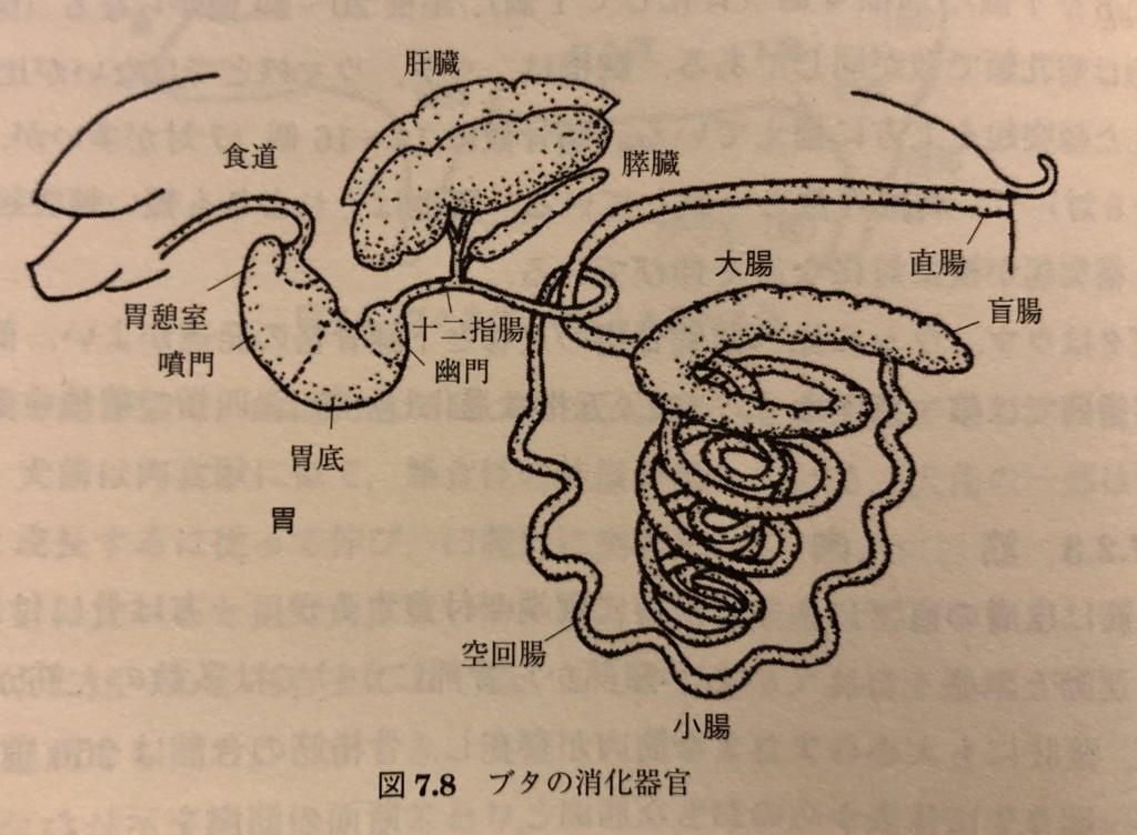 ブタの消化器官